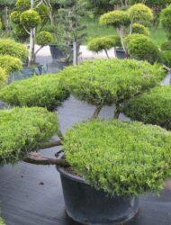 Bonsaiform ca. 70x150 (Juniperus pfitzeriana Mint Julep)