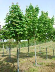 Acer platanoides Emerald Queen, hier 18 cm Stammumfang