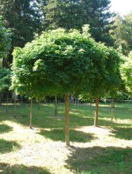 Acer platanoides Globosum, hier 40 cm Stammumfang