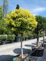 Euonymus fortunei Emerald'n Gold, hier 12 cm Stammumfang, 80 cm Stammhöhe