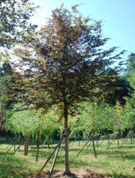 Fagus sylvatica Atropunicea (rotlaubiger Sämling); hier 40 cm Stammumfang