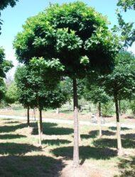 Quercus palustris Green Dwarf, hier 35 cm Stammumfang