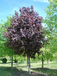Acer platanoides Crimson King, hier 60 cm Stammumfang