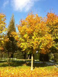 hier 45 cm Stammumfang; Herbstfärbung