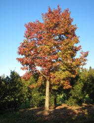 hier 70 cm Stammumfang; Herbstfärbung