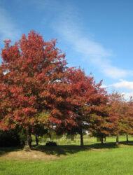 hier 90 - 105 cm Stammumfang; Herbstfärbung