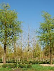 Salix sepulcralis Chrysocoma, hier 100 cm Stammumfang; Austrieb