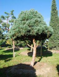 Stammform ca. 3 m (Pinus sylvestris Watereri)