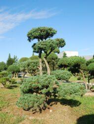 Bonsaiform ca. 220x200 (Pinus parviflora Brevifolia)