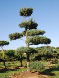 Bonsaiform ca. 380x270 (Pinus parviflora Glauca)