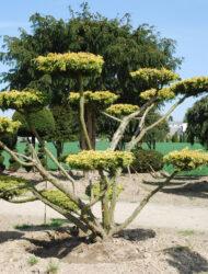 Bonsaiform ca. 180x250 (Juniperus chinensis Plumosa Aurea)