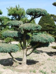 Bonsaiform ca. 160x160 (Juniperus chinensis Blue Alps)