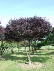 Schirmform ca. 380x330 (Prunus cerasifera Woodii)