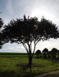 Schirmform ca. 400 x 400 (Prunus cerasifera Woodii)