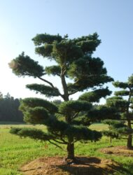 Bonsaiform ca. 500x400 (Pinus parviflora Glauca)