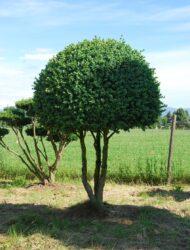Mehrstammkugel ca. 200x120 (Buxus sempervirens Rotundifolia)