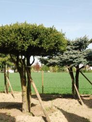 Schirmform ca. 230x250 (Pflanze li)