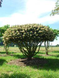 Schirmform ca. 260x350; Blüte (Prunus lusitanica Angustifolia)