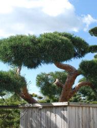 Bonsaiform ca. 130x330 (Pinus sylvestris Repens)