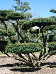 Bonsaiform ca. 150x270 (Taxus baccata Nissens Präsident)