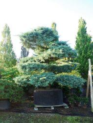 Bonsaiform ca. 280x280 (Juniperus virginiana Hetz)