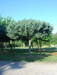Dachform ca. 320x300 (Pinus parviflora Negishii)
