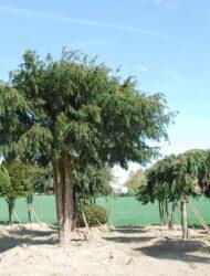 Schirmform ca. 420x480 (Taxus baccata Dovastoniana)