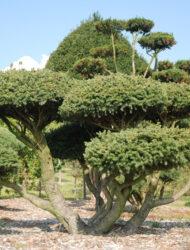 Bonsaiform ca. 140x250 (Picea abies Nidiformis)