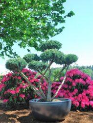 Bonsaiform ca. 130x170 (Juniperus squamata Meyeri)