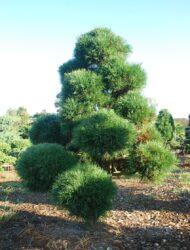 Bonsaiform ca. 220x160 (Pinus sylvestris Globosa Viridis)