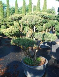 Bonsaiform ca. 100x100 (Taxus baccata Washingtonii)