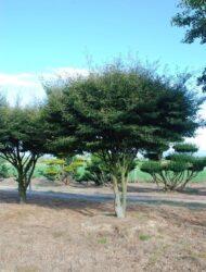 Schirmform ca. 320x320 (Fagus sylvatica Aspleniifolia)