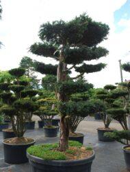 Bonsaiform ca. 140x100 (Taxus baccata Dovastoniana)