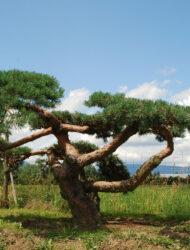 Niwaki ca. 140x370 (Pinus sylvestris Repens)