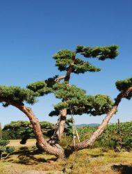 Niwaki ca. 320x550 (Pinus sylvestris Repens)