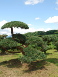 Niwaki ca. 170x320 (Pinus sylvestris Repens)