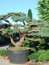 Niwaki ca. 180x350 (Pinus sylvestris Repens)