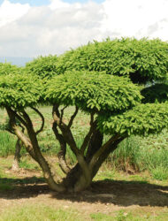 Bonsaiform ca. 160x280 (Picea abies Nidiformis)