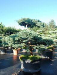 Bonsaiform ca. 120x140 (Juniperus squamata Blue Carpet)