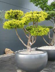 Bonsaiform ca. 110x110 (Taxus baccata Adpressa Aurea)