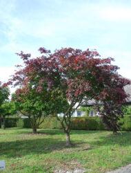 Schirmform ca. 400x420 (Acer japonicum Aconitifolium)