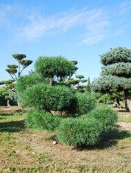 Bonsaiform ca. 110x110 (Pinus sylvestris Globosa Viridis)