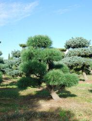 Bonsaiform ca. 120x110 (Pinus sylvestris Globosa Viridis)