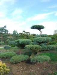 Bonsaiform ca. 140x200 (Juniperus virginiana Hetz)