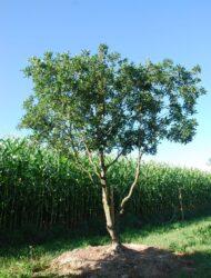 Schirmform ca. 360x280 (Quercus turneri Pseudoturneri)