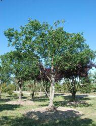 Schirmform ca. 380x330 (Quercus turneri Pseudoturneri)