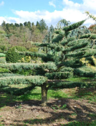 Niwaki ca. 160x180 (Juniperus virginiana Hetz)