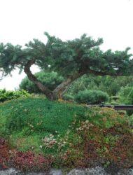 """Betonhügel"", Pflanzenbreite ca. 150 (Abies amabilis Spreading Star)"