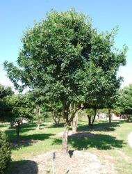 Schirmform ca. 370x370 (Quercus turneri Pseudoturneri)