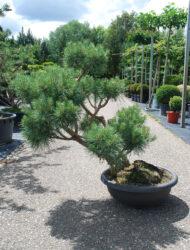 Niwaki ca. 90x90 (Pinus sylvestris Glauca)